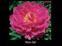 Nice Gal: Pink peony