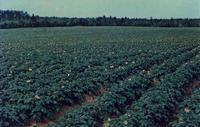 Carleton Potato Field